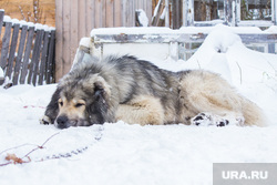 Собаки и дачи. Нижневартовск., собака, кавказская овчарка, сторожевая собака