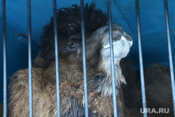 Зоопарк  верблюд Курган, верблюд гоша