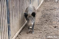 Животные. Челябинск, свинья, кабан