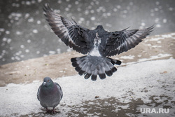 Встреча в Доме архитектора. Екатеринбург, городские птицы, голубь