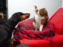 Открытая лицензия 08.07.2015. Драка., собака, драка, кот, животные