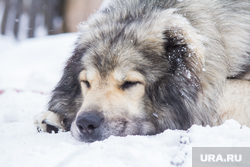 Собаки и дачи. Нижневартовск, собака, сон, зима, отдых