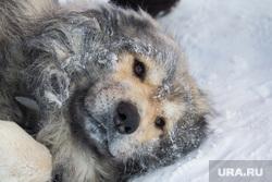 Клипарт по теме Холод. ХМАО, собака, зима, иней, холода, мороз