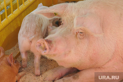 Сельское хозяйство. Животные. Челябинск, свинья, животноводство