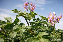 Начало уборочной кампании. Сельхозугодья Белоярского района. Екатеринбург, картофель, картошка, ботва