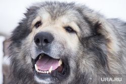 Собаки и дачи. Нижневартовск., собака, кавказская овчарка