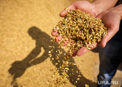 Начало уборочной кампании. Сельхозугодья Белоярского района. Екатеринбург, зерно, кормовые