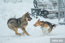 Уборка снега. Ханты-Мансийск., собаки, оскал