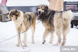 Собаки и дачи. Нижневартовск., собаки, сторожевая собака