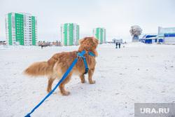 Ездовые собаки. Ханты-Мансийск., упряжка, ездовые собаки