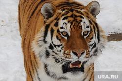 Челябинский зоопарк. Разная скотина.Челябинск., тигр