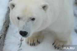 Челябинский зоопарк. Разная скотина.Челябинск., белый медведь, алтын