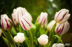 Цветочные магазины. Екатеринбург, тюльпаны, растение, букет, 8марта, цветы