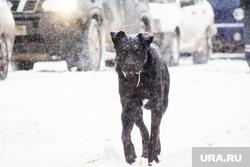 Стрежевская переправа. Излучинск., бездомные животные, злая собака