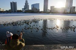 Виды Екатеринбурга, утки, городские птицы, город екатеринбург, набережная городского пруда, городской пруд