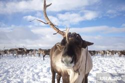 Быт Ямальских оленеводов. , олени, север, рога