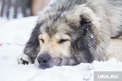 Собаки и дачи. Нижневартовск., собака, сон, зима, отдых