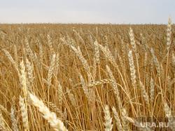 Пшеница Курганская область, сельское хозяйство, пшеница, урожай, зерновые