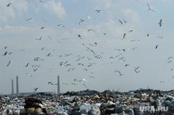 Свалка. Челябинск., мусор, свалка, чайки