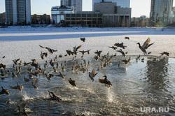 Клипарт, разное. Екатеринбург, утки, городские птицы, набережная городского пруда, городской пруд