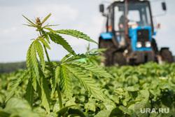 Начало уборочной кампании. Сельхозугодья Белоярского района. Екатеринбург, трактор, уборка урожая, конопля, наркотики