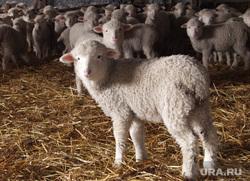 Клипарт. Екатеринбург, сельское хозяйство, овцы, ягненок, животноводство