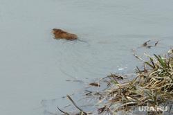 Ондатра в реке Экология Челябинск, экология, природа, ондатра