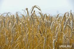 Дубровский и пшеница Челябинск, пшеница, урожай