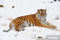 Челябинский зоопарк. Животные.Челябинск., тигр, животное, хищник, зверь, самец, млекопитающее