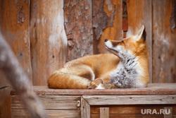 Екатеринбургский зоопарк. Екатеринбург, лиса, лисица, хищник