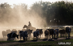Аркаим. Челябинская область, коровы, стадо, пастух