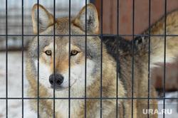 Челябинский зоопарк. Животные.Челябинск., решетка, волк, животное, хищник, зверь, самец, млекопитающее