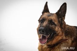 Клипарты. Сургут , собака, служебная собака, овчарка