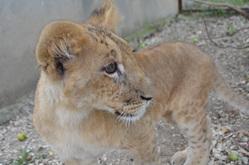 Тюменский львенок Моня осваивается на новом месте в Крыму. ФОТО