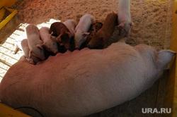 Сельское хозяйство. Животные. Челябинск, свинья, поросенок