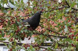 Голубь ест ранетки Осень Челябинск, птица, голубь