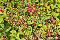 Дача и огород. Нижневартовск., кусты, ягоды, огород, клубника, дача