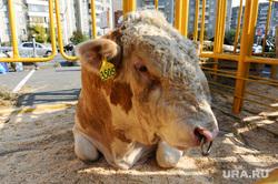 Агро 2014. Еда. Челябинск, бык, корова, животное