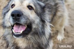 Клипарт 18 сентября. Нижневартовск., собака, друг, кавказская овчарка
