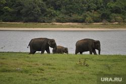 Шри-Ланка, слон