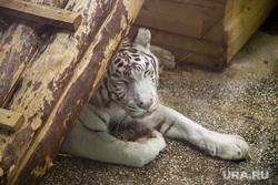 Екатеринбургский зоопарк. Екатеринбург, белый тигр, хищник