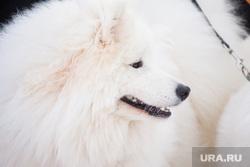 Ездовые собаки. Ханты-Мансийск., ездовые собаки, самоедская лайка