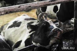 Рабочая поездка губернатора Дубровского в Чебаркульский и Уйский районы Челябинской области, корова