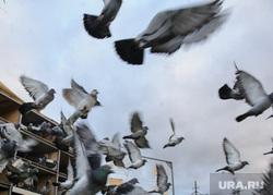 Соревнования почтовых голубей. Берёзовский, голуби, городские птицы, почтовые голуби
