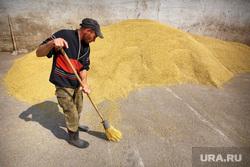 Начало уборочной кампании. Сельхозугодья Белоярского района. Екатеринбург, заготовка корма, зерно