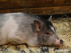 Клипарт, свинья, минипигги