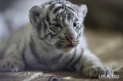 Екатеринбург. Белые бенгальские тигрята родились в Екатеринбургском зоопарке, тигрята, зоопарк, бенгальские, дикие животные, хищники, редкий вид