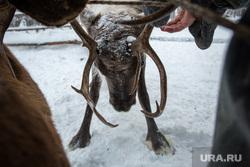 Жизнь оленеводов. Сургут, ханты, северный олень, кмнс