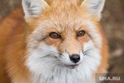 Лисы, лось, лиса, лисица, хищник, дикая природа, дикие животные