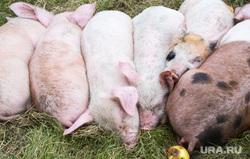 Новый Уренгой — Сеяха — Яр-Сале - командировка Кобылкина, свинья, поросенок, поросята